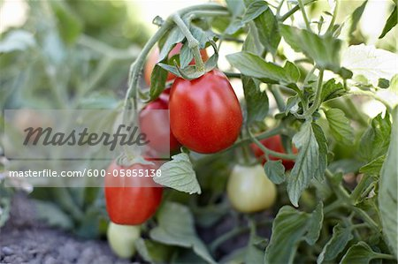 Roma Tomatoes, Cawston, Similkameen Country, British Columbia, Canada Stock Photo - Premium Royalty-Free, Image code: 600-05855138