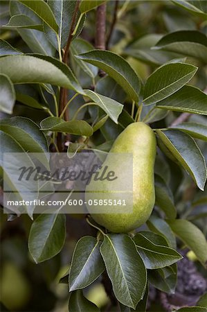 Bartlett Pear, Cawston, Similkameen Country, British Columbia, Canada Stock Photo - Premium Royalty-Free, Image code: 600-05855141