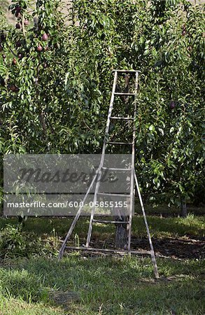 Orchard Ladder and Pear Trees, Cawston, Similkameen Country, British Columbia, Canada Stock Photo - Premium Royalty-Free, Image code: 600-05855155