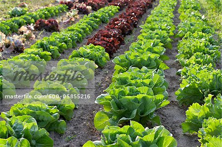 Boston, Romaine and Leaf Lettuce, Fenwick, Ontario, Canada Stock Photo - Premium Royalty-Free, Image code: 600-05855216