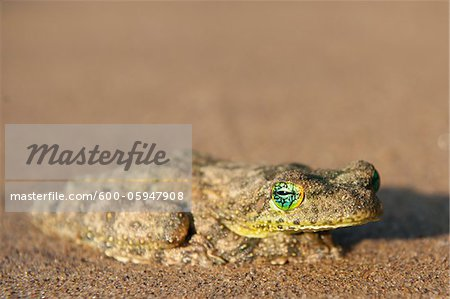 Close-up of Frog on Beach near Paraty, Brazil Stock Photo - Premium Royalty-Free, Image code: 600-05947908