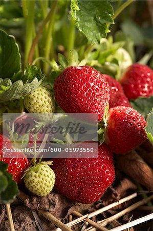 Ripe Strawberries, DeVries Farm, Fenwick, Ontario, Canada Stock Photo - Premium Royalty-Free, Image code: 600-05973550