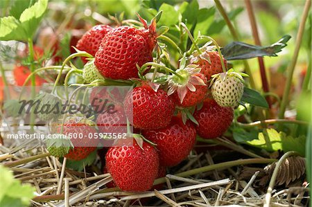 Ripe Strawberries on Plants, DeVries Farm, Fenwick, Ontario, Canada Stock Photo - Premium Royalty-Free, Image code: 600-05973562