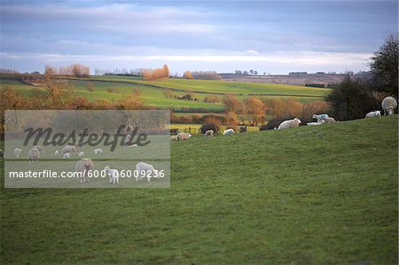 Sheep Grazing in Hills, Scunthorpe, Lincolnshire, England Stock Photo - Premium Royalty-Free, Image code: 600-06009236
