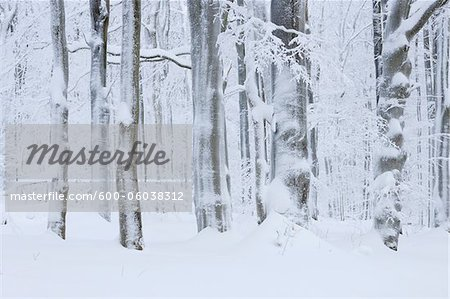 Snow Covered Tree Trunks in Forest, Rhoen, Rhon Mountains, Hesse, Germany Stock Photo - Premium Royalty-Free, Image code: 600-06038312