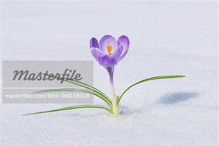 Spring Crocus in Snow, Franconia, Bavaria, Germany Stock Photo - Premium Royalty-Free, Image code: 600-06038318