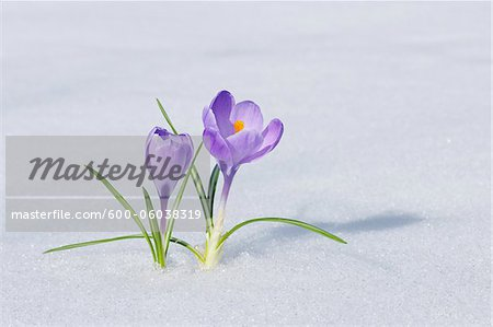 Spring Crocuses in Snow, Franconia, Bavaria, Germany Stock Photo - Premium Royalty-Free, Image code: 600-06038319