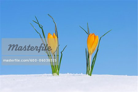 Crocus (Crocus chrysanthus / Snow Crocus) standing in snow, clear blue sky. Franconia, Bavaria, Germany. Stock Photo - Premium Royalty-Free, Image code: 600-06038325