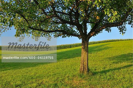 Apple Tree in Summer, Switzerland Stock Photo - Premium Royalty-Free, Image code: 600-06119755