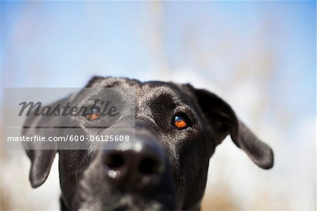 Mixed Breed Labrador Retriever, British Columbia, Canada Stock Photo - Premium Royalty-Free, Image code: 600-06125608