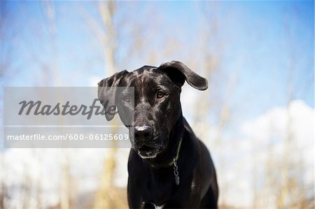 Mixed Breed Labrador Retriever, British Columbia, Canada Stock Photo - Premium Royalty-Free, Image code: 600-06125609