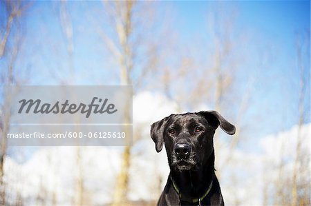 Mixed Breed Labrador Retriever, British Columbia, Canada Stock Photo - Premium Royalty-Free, Image code: 600-06125610