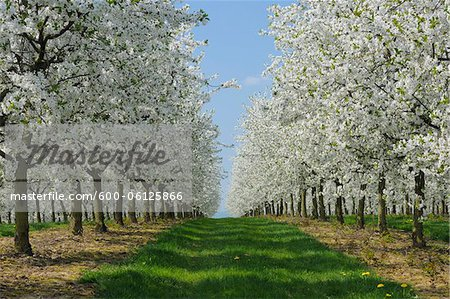 Cherry Trees, Bavaria, Germany Stock Photo - Premium Royalty-Free, Image code: 600-06125866