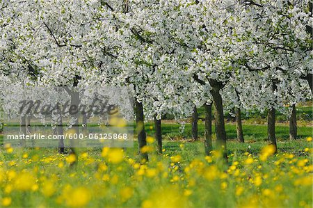 Cherry Trees, Bavaria, Germany Stock Photo - Premium Royalty-Free, Image code: 600-06125868