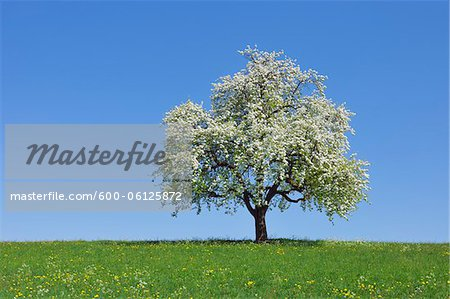Pear Tree, Bavaria, Germany Stock Photo - Premium Royalty-Free, Image code: 600-06125872