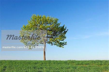 Norway Maple Tree, Bavaria, Germany