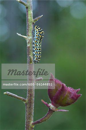 Swallowtail Caterpillar on Dictamnus Stem, Karlstadt, Franconia, Bavaria, Germany Stock Photo - Premium Royalty-Free, Image code: 600-06144851