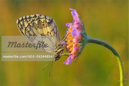 Marbled White Butterfly on Flower, Karlstadt, Franconia, Bavaria, Germany Stock Photo - Premium Royalty-Free, Image code: 600-06144854