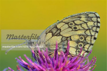 Marbled White Butterfly on Flower, Karlstadt, Franconia, Bavaria, Germany Stock Photo - Premium Royalty-Free, Image code: 600-06144855