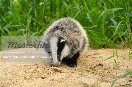 Portrait of European Badger, Hesse, Germany Stock Photo - Premium Royalty-Free, Image code: 600-06144946