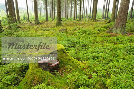 Tree Stump in Spruce Forest, Odenwald, Hesse, Germany Stock Photo - Premium Royalty-Free, Image code: 600-06334262