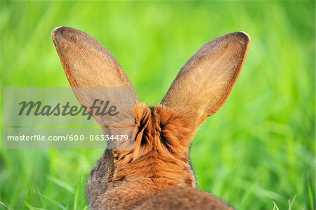 Hare, Bavaria, Germany Stock Photo - Premium Royalty-Free, Image code: 600-06334479