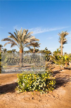 Plumeria Alba and Palm Trees, Hurghada, Red Sea Governorate, Egypt Stock Photo - Premium Royalty-Free, Image code: 600-06355339