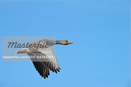 Greylag Goose, Hesse, Germany Stock Photo - Premium Royalty-Free, Image code: 600-06383749