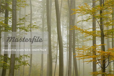 Beech Forest in Morning Mist in Autumn, Spessart, Bavaria, Germany Stock Photo - Premium Royalty-Free, Image code: 600-06397428