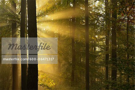 Sunbeams through Beech Forest in Autumn with Morning Mist, Spessart, Bavaria, Germany Stock Photo - Premium Royalty-Free, Image code: 600-06471317