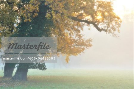 Oak Tree with Autumn Foliage in Forest Glade in Morning Haze, Bavaria, Germany Stock Photo - Premium Royalty-Free, Image code: 600-06486003