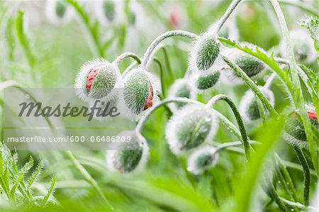 Poppy Buds (Papaver) Covered with Rain Drops are Gonna Bloom Soon, Germany Stock Photo - Premium Royalty-Free, Image code: 600-06486209