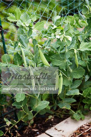 green peas in pea pods growing on a pea plant in a garden in Canada in the spring Stock Photo - Premium Royalty-Free, Image code: 600-06532001