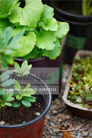 garden plants (hen and chicks, Gaultheria procumbens, wintergreen) in plant pots as seedlings for outdoor garden, Canada Stock Photo - Premium Royalty-Free, Image code: 600-06532011