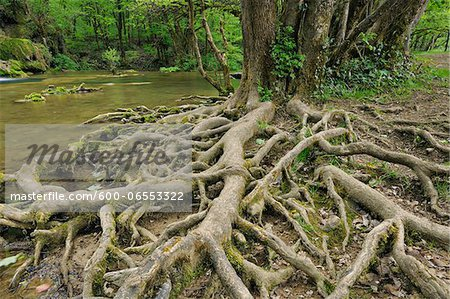 Roots of Tree by River, Jura, Franche-Comte, France Stock Photo - Premium Royalty-Free, Image code: 600-06553322