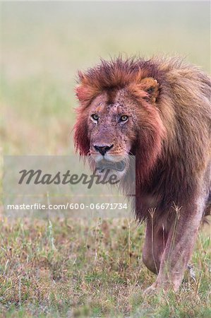 Male lion (Panthera leo) with blood on his head and mane after feeding, Maasai Mara National Reserve, Kenya Stock Photo - Premium Royalty-Free, Image code: 600-06671734