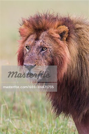 Male lion (Panthera leo) with blood on his head and mane after feeding, Maasai Mara National Reserve, Kenya Stock Photo - Premium Royalty-Free, Image code: 600-06671735