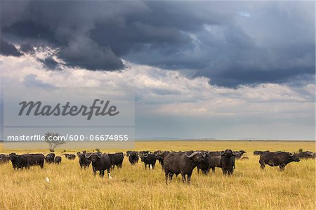 Cape Buffalo (Syncerus caffer) Herd in Savanna, Maasai Mara National Reserve, Kenya, Africa Stock Photo - Premium Royalty-Free, Image code: 600-06674855