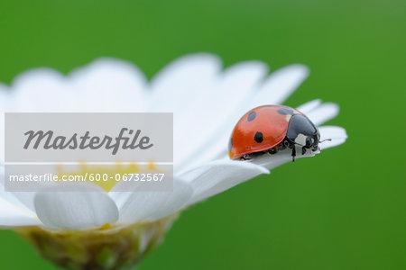 Seven Spot Ladybird (Coccinella septempunctata) on Leucanthemum (Leucanthemum vulgare) on green background. Bavaria, Germany.