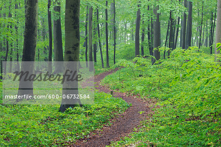 Footpath through spring beech forest with lush green foliage. Hainich National Park, Thuringia, Germany. Stock Photo - Premium Royalty-Free, Image code: 600-06732584