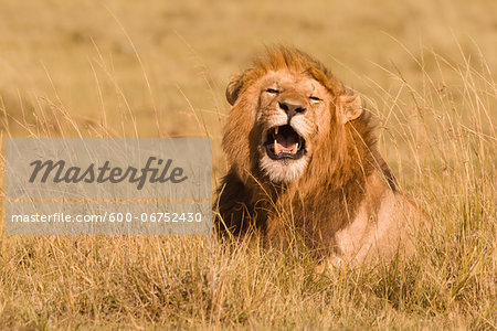 Male African Lion (Panthera leo) in Tall Grass, Maasai Mara National Reserve, Kenya, Africa Stock Photo - Premium Royalty-Free, Image code: 600-06752430