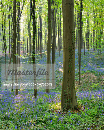Beech Forest with Bluebells in Spring, Hallerbos, Halle, Flemish Brabant, Vlaams Gewest, Belgium Stock Photo - Premium Royalty-Free, Image code: 600-06752572