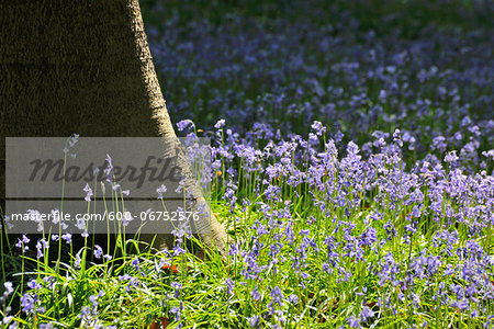 Beech Tree Trunk with Bluebells in Spring, Hallerbos, Halle, Flemish Brabant, Vlaams Gewest, Belgium Stock Photo - Premium Royalty-Free, Image code: 600-06752576