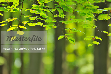 Beech Leaves in Spring, Hallerbos, Halle, Flemish Brabant, Vlaams Gewest, Belgium Stock Photo - Premium Royalty-Free, Image code: 600-06752578