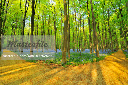 Forked Path through Beech Forest with Bluebells in Spring, Hallerbos, Halle, Flemish Brabant, Vlaams Gewest, Belgium Stock Photo - Premium Royalty-Free, Image code: 600-06752579
