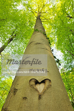 Heart and Name Carved into Beech Tree Trunk, Hallerbos, Halle, Flemish Brabant, Vlaams Gewest, Belgium Stock Photo - Premium Royalty-Free, Image code: 600-06752582