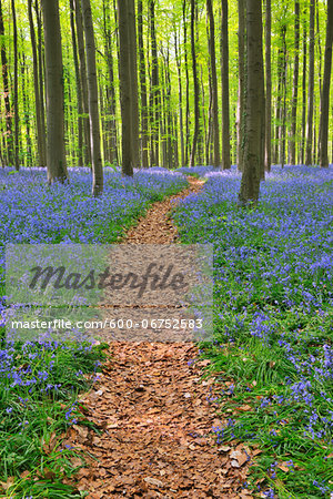 Path through Beech Forest with Bluebells in Spring, Hallerbos, Halle, Flemish Brabant, Vlaams Gewest, Belgium Stock Photo - Premium Royalty-Free, Image code: 600-06752583