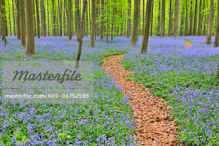 Path through Beech Forest with Bluebells in Spring, Hallerbos, Halle, Flemish Brabant, Vlaams Gewest, Belgium Stock Photo - Premium Royalty-Free, Image code: 600-06752585