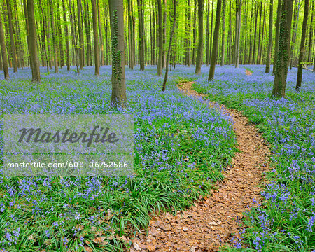 Path through Beech Forest with Bluebells in Spring, Hallerbos, Halle, Flemish Brabant, Vlaams Gewest, Belgium Stock Photo - Premium Royalty-Free, Image code: 600-06752586