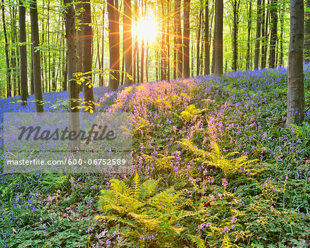 Sun through Beech Forest with Bluebells in Spring, Hallerbos, Halle, Flemish Brabant, Vlaams Gewest, Belgium Stock Photo - Premium Royalty-Free, Image code: 600-06752589